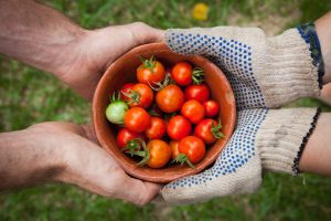 bowl of tomatoes held by gardeners' hands